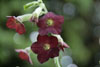 Nicotiana 'Hot Chocolate'